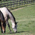 horses grazing in field midatlantic