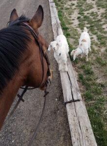 Zesty Zar with goats
